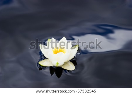 White Waterlily in a pond - stock photo