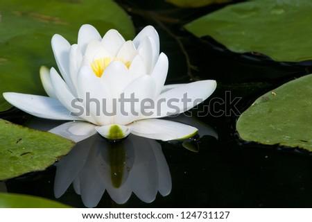 White Waterlily in Danube Delta - stock photo
