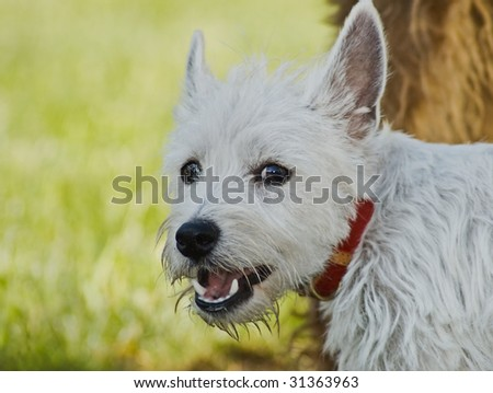 white west highland terrier dog posing outside - stock photo