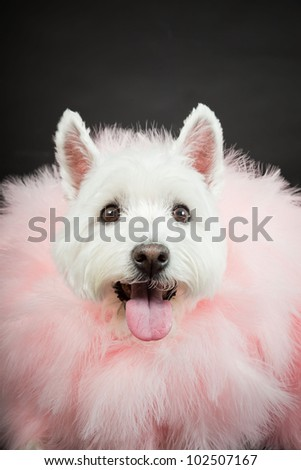 White Westhighland westie terrier with pink boa isolated on black background - stock photo