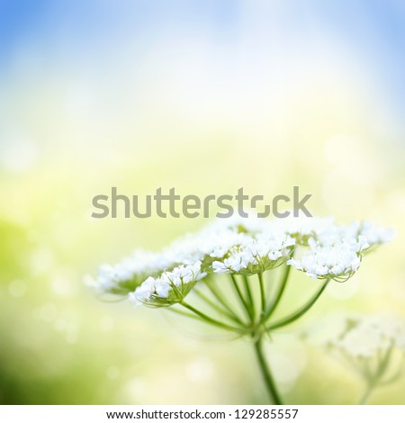 White wild carrot flower on a beautiful nature spring or summer bokeh background with blue sky and green grass. Very shallow focus. - stock photo