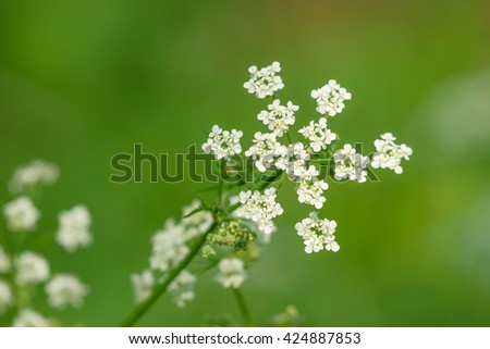 White wildflowers on green background in the spring - stock photo