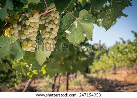 White wine grapes on vine in vineyard landscape - stock photo