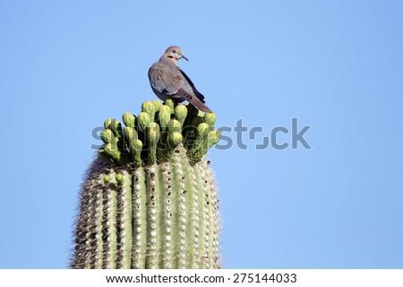 White-winged Dove atop a Giant Saguaro Cactus in Arizona's Sonoran Desert - stock photo