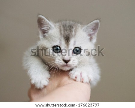 White with gray stripes British kitten is being held in the hand - stock photo
