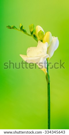 White with yellow Fresia flowers, with buds, close up, isolated, green bokeh background. - stock photo