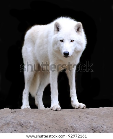 White wolf - stock photo