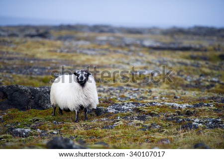 White Woolly Sheep in Iceland - stock photo