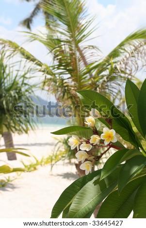 White-yellow frangipani flower on the beach - stock photo