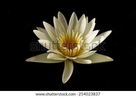 White-yellow lotus on black background - stock photo
