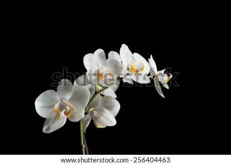 White yellow orchid on black background - stock photo