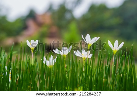 white Zephyranthes Lily flowers - stock photo