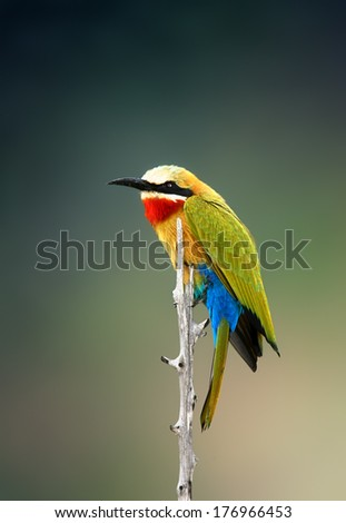 Whitefronted Bee-eater (Merops bullockoides) Kruger National Park (South Africa) - stock photo