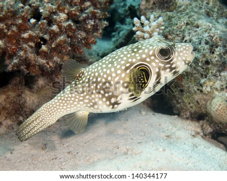 Whitespotted puffer in red sea - stock photo