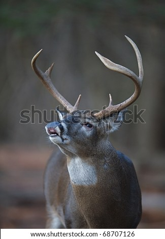 Whitetail Buck Deer flehmen response, lip-curl, portrait, Great Smoky Mountains National Park, Tennessee / North Carolina.  white tail / white-tailed / white-tail / white tailed / whitetailed - stock photo