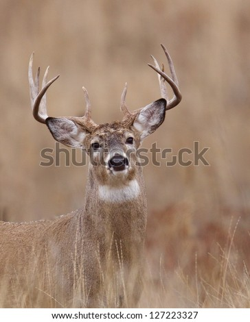 Whitetail Buck Deer in CRP land, Conservation Reserve Program, deer hunting season in the midwest, portrait - stock photo