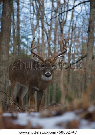 Whitetail Buck Deer in mixed coniferous / hardwood forest, Cades Cove, Smoky Mountains National Park, Tennessee / North Carolina; white tail / white-tailed / white-tail / white tailed / whitetailed - stock photo