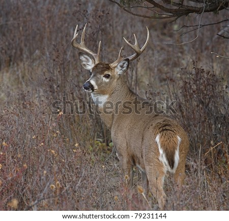 Whitetail Buck Deer in natural habitat, head turned over back looking at camera - stock photo
