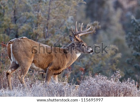 Whitetail Buck Deer Stag, Adirondack Mountains, upstate New York deer hunting season - stock photo