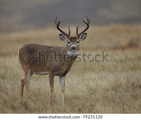 Whitetail Buck Deer with trophy nontypical antlers in prairie habitat - stock photo