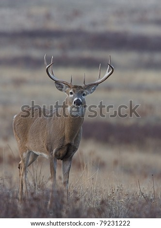 Whitetail Buck Deer with very wide rack, standing in the Palouse Prairie grasslands - stock photo