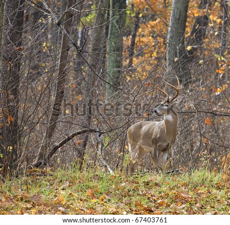 whitetail buck in autumn that is on a forest edge - stock photo