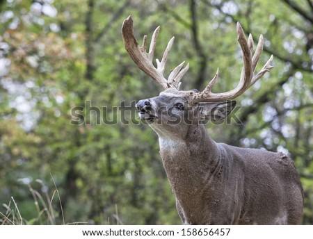 Whitetail buck in rut showing lip curl or flehmen response. - stock photo