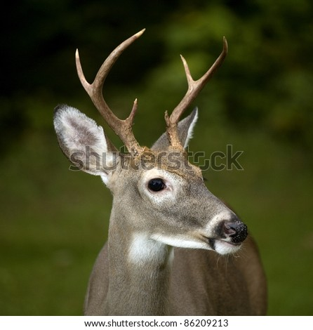 Whitetail buck taken strobist style as darkness comes over the forest - stock photo
