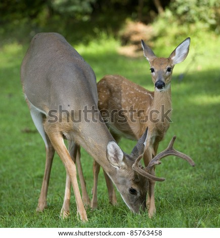 Whitetail buck with antlers in velvet and a spotted fawn - stock photo
