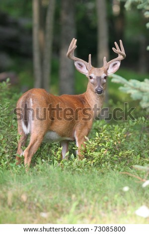 Whitetail Deer - stock photo