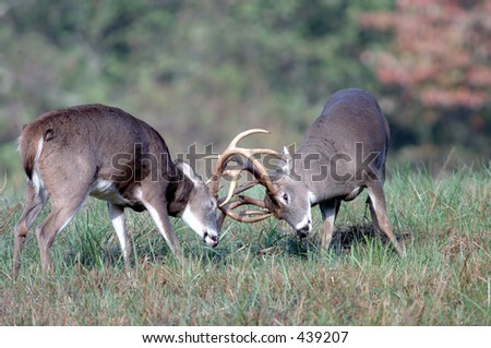 Whitetail deer battling - stock photo