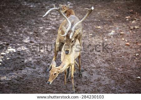 Whitetail Deer Buck and Doe breeding having sex mating - stock photo