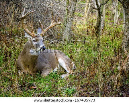 Whitetail Deer Buck bedded down in the woods. - stock photo