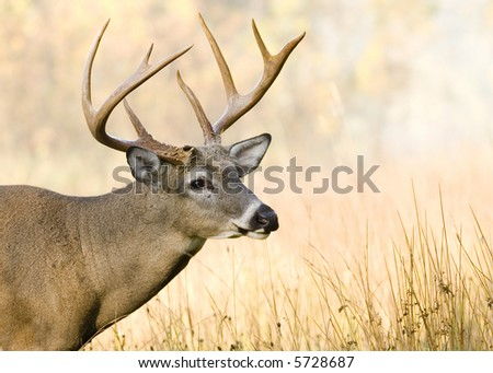 Whitetail deer buck close-up head shot. - stock photo