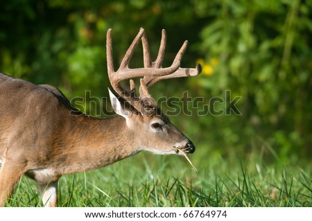 Whitetail deer buck in spring with velvet antlers - stock photo