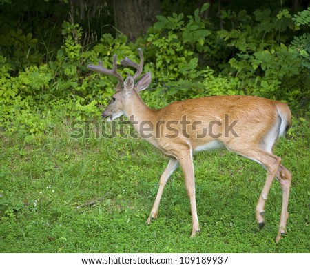 Whitetail deer buck in with velvet antlers near a dark forest - stock photo