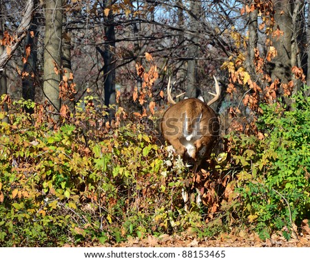 Whitetail Deer Buck running away from the camera at the edge of a woods during the fall rutting season. - stock photo