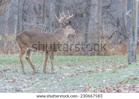 Whitetail Deer Buck standing in a field. - stock photo