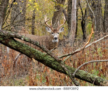 Whitetail Deer Buck standing in a thicket. - stock photo