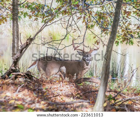 Whitetail Deer Buck standing in a woods. - stock photo