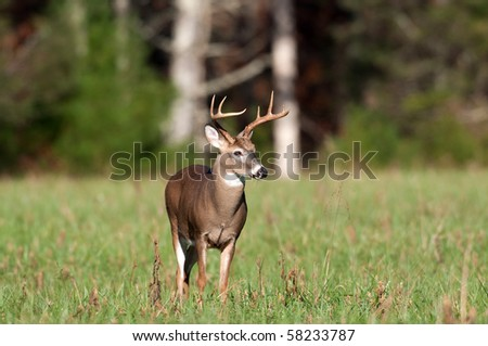 Whitetail deer buck standing in meadow - stock photo