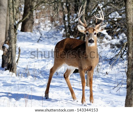 Whitetail Deer Buck standing in the woods in winter snow. - stock photo