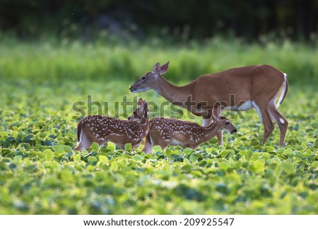 Whitetail deer doe and fawn in a beanfield in late evening - stock photo
