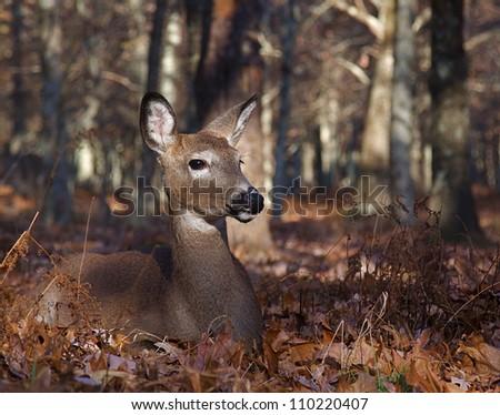 Whitetail Deer doe bedded in Oak Tree leaves on the forest floor in Shenandoah National Park, Virginia; Skyline Drive / Blue Ridge Parkway / White-tailed / White Tail / White tailed / White-tail - stock photo
