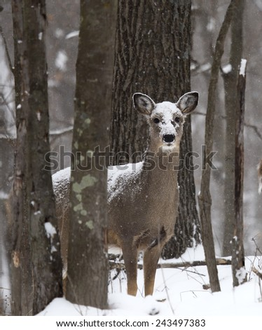 Whitetail deer doe, stands snow covered, looking at camera.  Winter in Wisconsin - stock photo