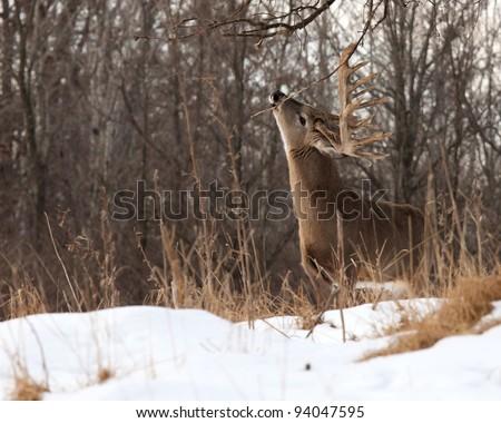 Whitetail deer eating branch of oak tree - stock photo