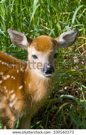 Whitetail Deer Fawn ALert and Standing - stock photo