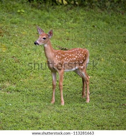 Whitetail deer fawn in spots that is alone on a grassy field - stock photo