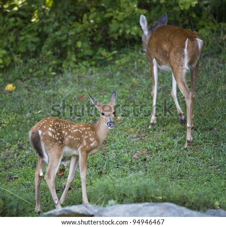 Whitetail deer fawn licking its lips at a doe walks away - stock photo