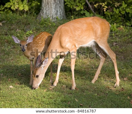 Whitetail deer fawn looking up while its doe grazes - stock photo